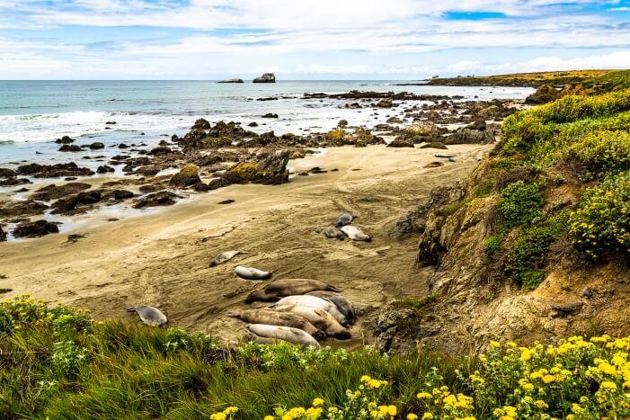 Seelöwen am Highway 1 bei San Simeon auf deiner USA Westküsten Rundreise