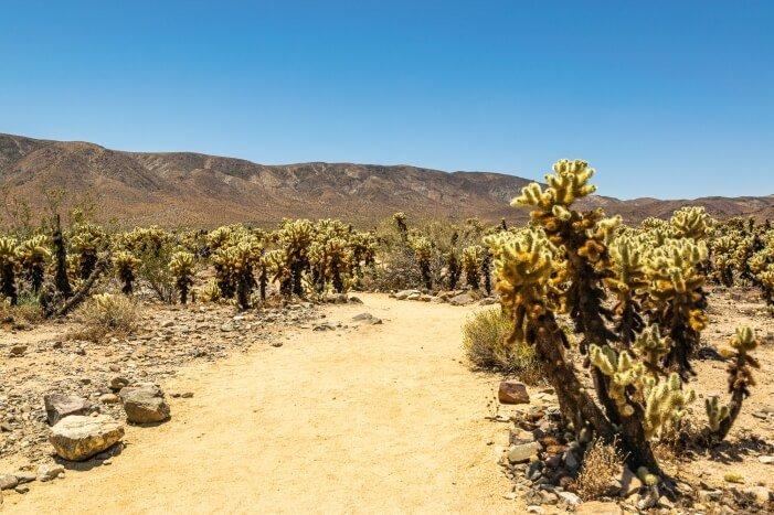 Cholla Cactus Garden im Joshua Tree NP