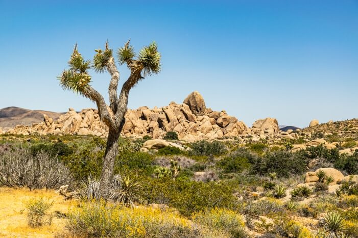 Joshua Tree im gleichnamigen Nationalpark