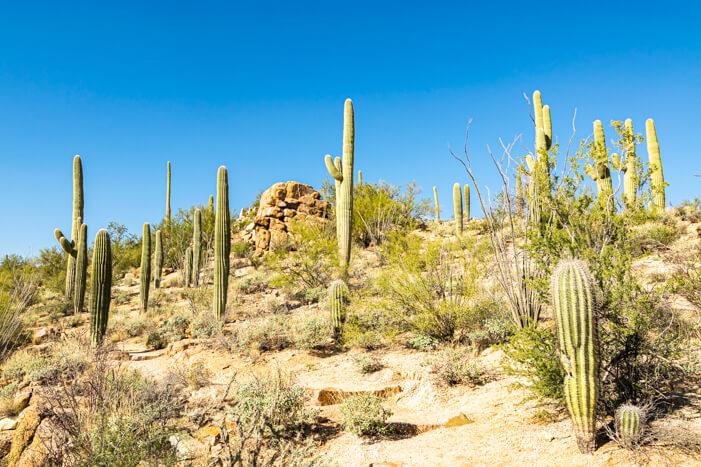 Saguaro Nationalpark - Kakteen wohin das Auge reicht